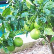 Amalfi Zitronen